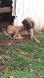 Cachorro FILA BRASILEIRO a venda
