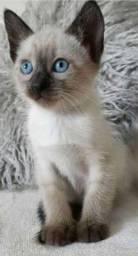 Título do anúncio: Gatos Siamês Encantadores filhotes macho e fêmea