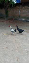 Título do anúncio: Galo e galinha