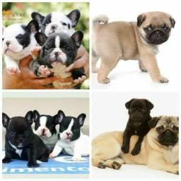 Lindos pug e bulldog francês
