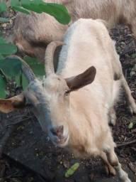Vendo uma cabra saanen Amorjando