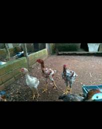 Lote com 7 frangos