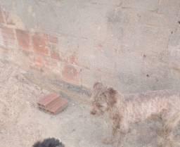 Título do anúncio: Poodle e Lhasa Apso casal