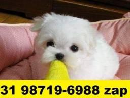 Canil Filhotes Premium Cães BH Maltês Beagle Shihtzu Basset Lhasa Yorkshire Bulldog