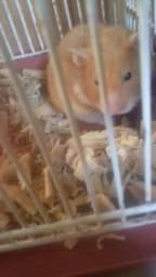 Procuro companheiro pra minha hamster leiam a descrição