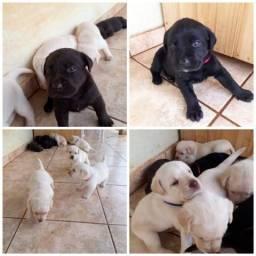 Lindos Filhotes de Labrador Retriever