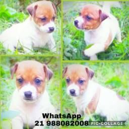 Filhotes de Jack Russel Terrier