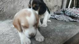 Filhotes de Beagle americano