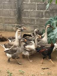 Ganços Cisne