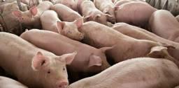 Doação de porcos