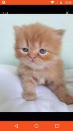 Lindos filhotes Gatos Persa  ( desconto a vista )