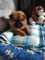 Um cachorro Chow Chow