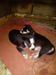 Filhotes fêmea husky siberiano