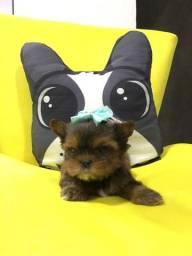 Yorkshire terrier fêmea micro exótica