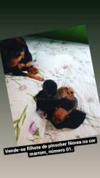 Filhote de pinscher fêmea na cor marrom número 01