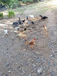 Rebanho galinha caipira 15cabeca
