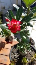 Sementes Rosa do Deserto