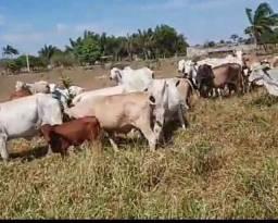 Título do anúncio: Vendo vacas para cortes