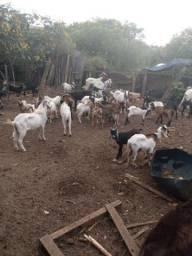 Vendo cabras e Bodes