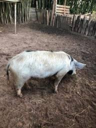 Porca enchertada