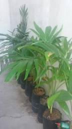 Muda de palmeira Havaí