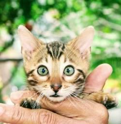 Bengal machos e fêmeas vacinados pedigree pronta entrega enviamos pra todo brasil