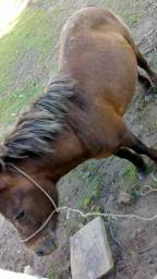 Cavalo Ponem Novo