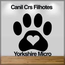 Yorkshire micro com pedigree e microchip até 18x