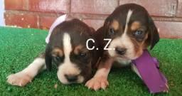 Belíssimos Beagles, com pedigree, garantia e recibo.