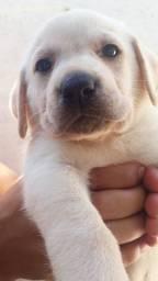 Filhotes de Labrador 100% puros