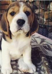 13 Polegadas Beagle Filhote com Pedigree e Garantia de Saúde