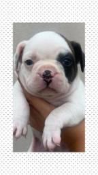 Bulldog francês com pedigree e micro chip em até18x