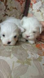 Mini maltês perfeitos filhotes branco neve raridade de encontrar!!!