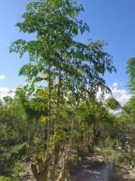 Moringa oleifera. !!