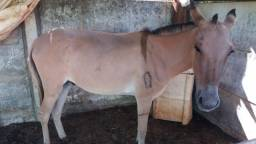 Mini burro