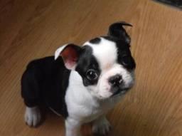 Título do anúncio: Boston Terrier
