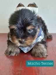 Título do anúncio: Yorkshire Terrier os lindos