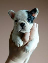 Título do anúncio: Lindos filhotes de bulldog francês entregamos