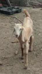 Vendo um filhote de cabra