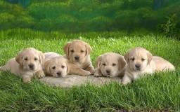 Excelentes Labradores Macho - pedigree