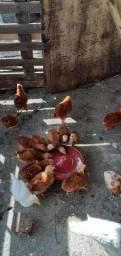 Pintinho Rhodia Island Red negocinho por roedores