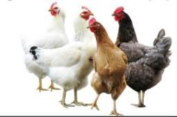 Título do anúncio: Vende-se galinhas ?