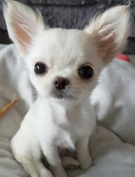 Título do anúncio: Chihuahua pelagem longa e curta, adquira conosco e tenha garantias