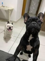 Filhote Bulldog Francês PRETO