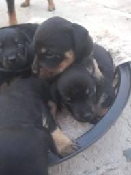 Doa-se cães