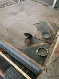 filhote Rottweiler