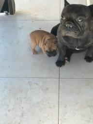 Bulldog francês preto tigrado de ótima linhagem