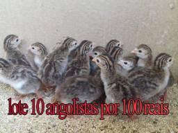 Promocao angolas filhotes