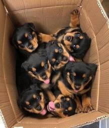 Filhotes de Rottweiler Cabeça de Touro Fêmea