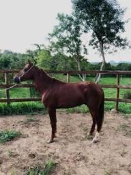 Cavalo Marcha Picada, Muito Manso!!! (Leia o anúncio)